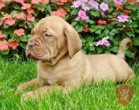 Dogue De Bordeaux Puppies for sale in Santa Maria, CA, USA. price: NA