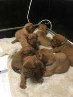 Dogue De Bordeaux Puppies for sale in California Plaza, Los Angeles, CA 90071, USA. price: NA