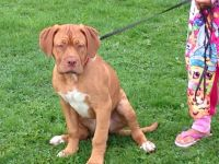 Dogue De Bordeaux Puppies for sale in Indianapolis, IN, USA. price: NA