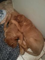 Dogue De Bordeaux Puppies for sale in Moorestown, NJ 08057, USA. price: NA