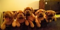 Dogue De Bordeaux Puppies for sale in Norfolk, VA, USA. price: NA