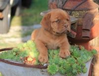 Dogue De Bordeaux Puppies for sale in Springfield, VA, USA. price: NA