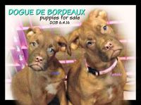 Dogue De Bordeaux Puppies for sale in Columbus, OH 43224, USA. price: NA