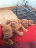 Dogue De Bordeaux Puppies for sale in Arkansas City, AR 71630, USA. price: NA