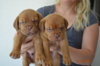 Dogue De Bordeaux Puppies for sale in Los Angeles, CA, USA. price: NA