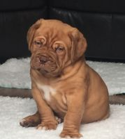 Dogue De Bordeaux Puppies for sale in Minnesota St, St Paul, MN 55101, USA. price: NA