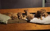 Dogue De Bordeaux Puppies for sale in Scottsburg, IN 47170, USA. price: NA