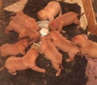 Dogue De Bordeaux Puppies for sale in Waco, TX, USA. price: NA