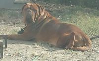 Dogue De Bordeaux Puppies for sale in Manchester, TN 37355, USA. price: NA