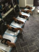 Dogue De Bordeaux Puppies for sale in Nashville, TN, USA. price: NA
