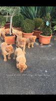 Dogue De Bordeaux Puppies for sale in Phoenix, AZ, USA. price: NA