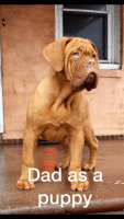Dogue De Bordeaux Puppies for sale in Fort Morgan, CO, USA. price: NA