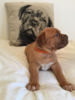 Dogue De Bordeaux Puppies for sale in England, AR 72046, USA. price: NA