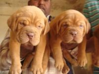 Dogue De Bordeaux Puppies for sale in California St, San Francisco, CA, USA. price: NA