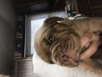 Dogue De Bordeaux Puppies for sale in Montezuma, IN 47862, USA. price: NA