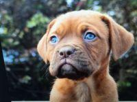 Dogue De Bordeaux Puppies for sale in Greensboro, NC, USA. price: NA