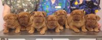 Dogue De Bordeaux Puppies for sale in Hampton Bays, NY, USA. price: NA
