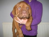 Dogue De Bordeaux Puppies for sale in Dublin, OH, USA. price: NA