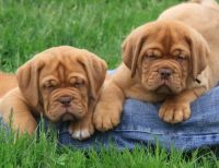 Dogue De Bordeaux Puppies for sale in 58503 Rd 225, North Fork, CA 93643, USA. price: NA
