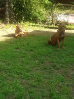 Dogue De Bordeaux Puppies for sale in Little Rock, AR, USA. price: NA