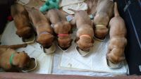 Dogue De Bordeaux Puppies for sale in PA-18, Albion, PA, USA. price: NA