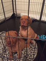 Dogue De Bordeaux Puppies for sale in Michigan Ave, Inkster, MI 48141, USA. price: NA