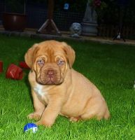 Dogue De Bordeaux Puppies for sale in Atlanta, GA, USA. price: NA