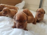 Dogue De Bordeaux Puppies for sale in Belle Vernon, PA 15012, USA. price: NA