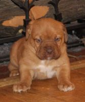 Dogue De Bordeaux Puppies for sale in Tecate, CA 91987, USA. price: NA