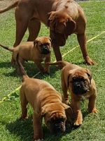 Dogue De Bordeaux Puppies for sale in Lake Cormorant, Mississippi 38641, USA. price: NA