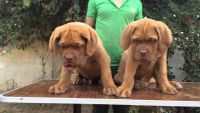 Dogue De Bordeaux Puppies for sale in Las Vegas, NV, USA. price: NA