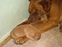Dogue De Bordeaux Puppies for sale in Sparta, TN 38583, USA. price: NA