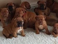 Dogue De Bordeaux Puppies for sale in Springfield, IL, USA. price: NA