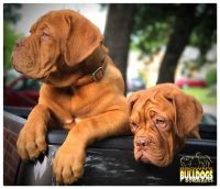 Dogue De Bordeaux Puppies for sale in Los Angeles, CA 90012, USA. price: NA