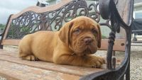 Dogue De Bordeaux Puppies for sale in Woodburn, IN 46797, USA. price: NA