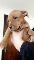 Dogue De Bordeaux Puppies for sale in Arlington, VA, USA. price: NA