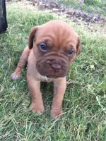 Dogue De Bordeaux Puppies for sale in Fredonia, KS 66736, USA. price: NA