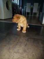 Dogue De Bordeaux Puppies for sale in NJ-17, Paramus, NJ 07652, USA. price: NA