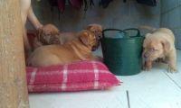 Dogue De Bordeaux Puppies for sale in El Paso, TX 79902, USA. price: NA