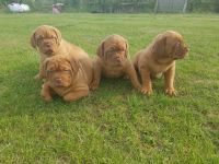 Dogue De Bordeaux Puppies for sale in W Spring St, Spring Hill, KS 66083, USA. price: NA