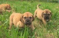Dogue De Bordeaux Puppies for sale in Warrenton Way, Colorado Springs, CO 80922, USA. price: NA