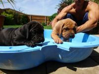 Dogue De Bordeaux Puppies for sale in Brownfield, TX 79316, USA. price: NA