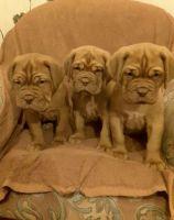 Dogue De Bordeaux Puppies for sale in Dallas, TX, USA. price: NA