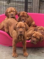Dogue De Bordeaux Puppies for sale in Oakland, CA 94624, USA. price: NA