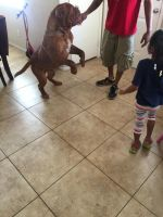Dogue De Bordeaux Puppies for sale in Las Vegas, NV 89128, USA. price: NA