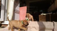 Dogue De Bordeaux Puppies for sale in Houston, TX, USA. price: NA