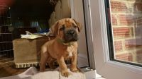 Dogue De Bordeaux Puppies for sale in Charleston, SC, USA. price: NA