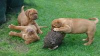 Dogue De Bordeaux Puppies for sale in San Jose, CA, USA. price: NA