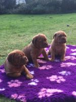 Dogue De Bordeaux Puppies for sale in Boston, MA, USA. price: NA
