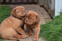Dogue De Bordeaux Puppies for sale in Belton Honea Path Hwy, Belton, SC 29627, USA. price: NA